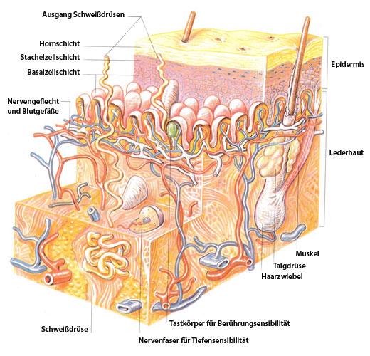 Dermatochirurgie die Haut unser größtes Organ